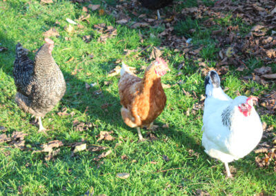 Our Poachers Hens